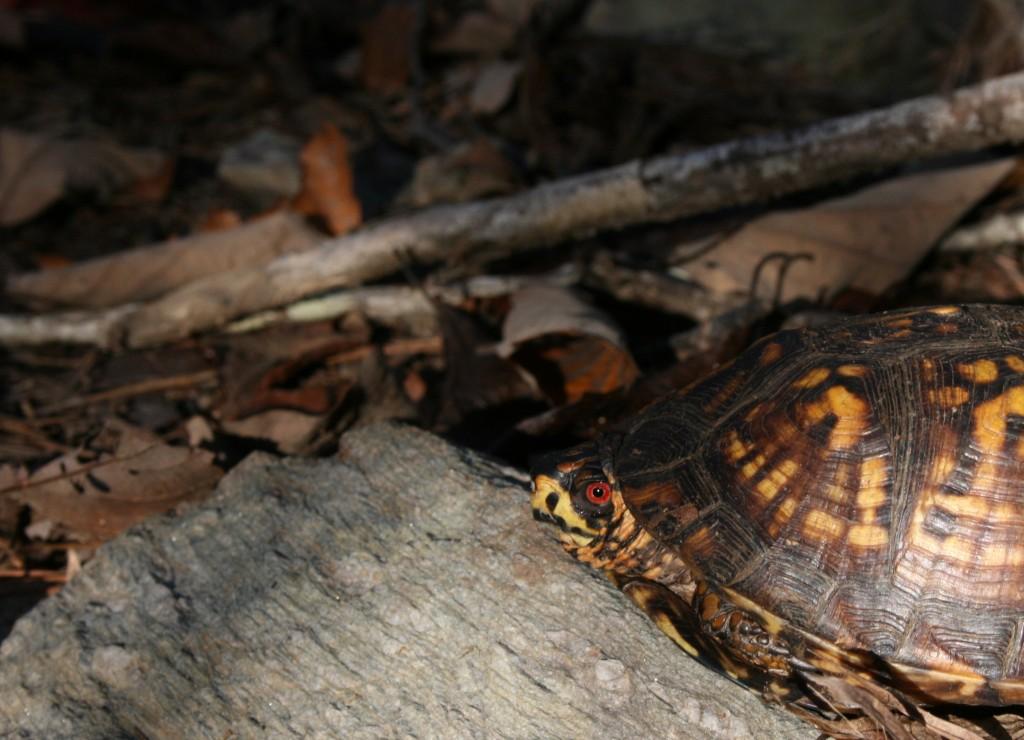 lake martin turtle