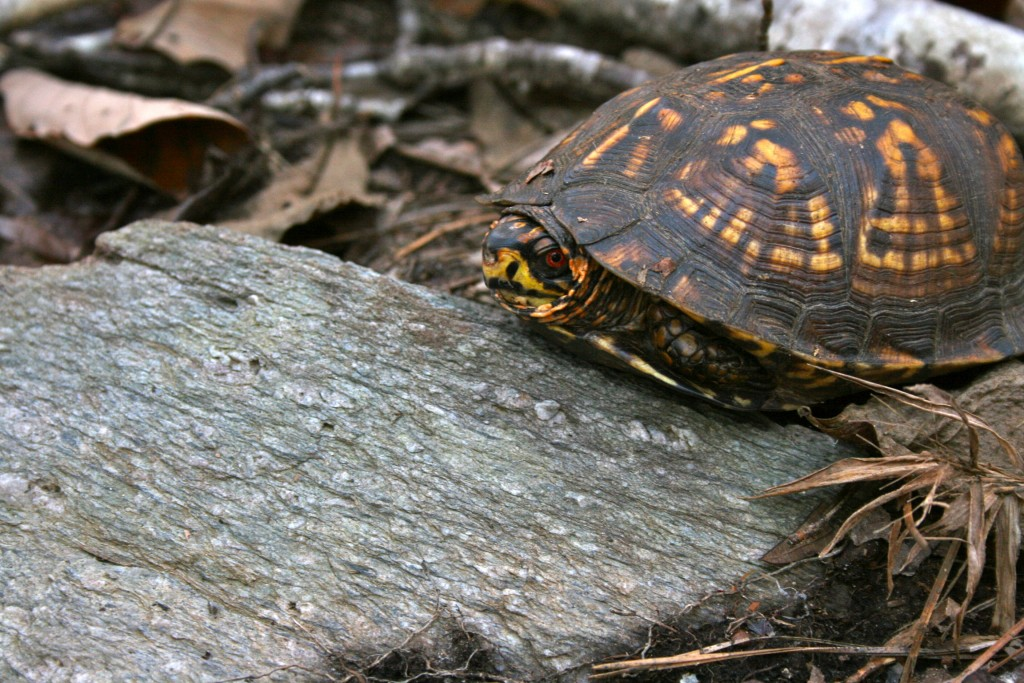 lake martin cherokee ridge trail turtle