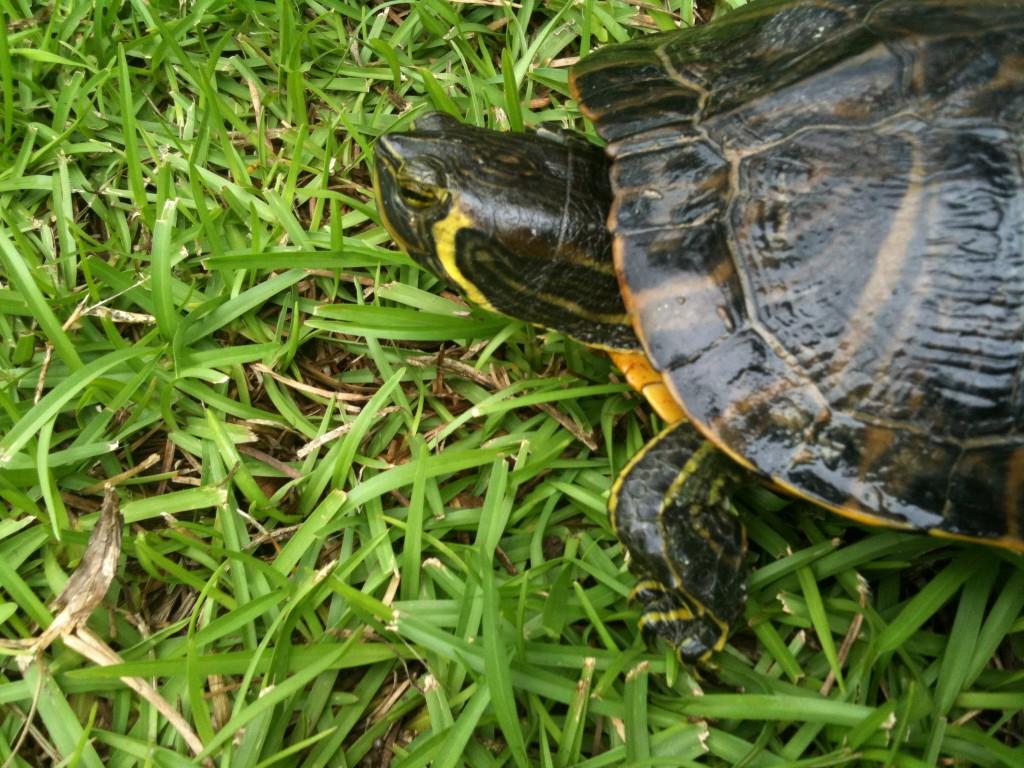 lake martin turtle alabama