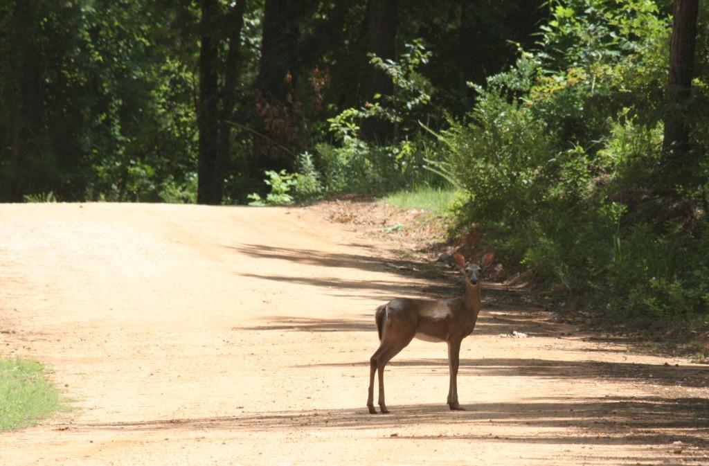 lake martin amphitheater deer