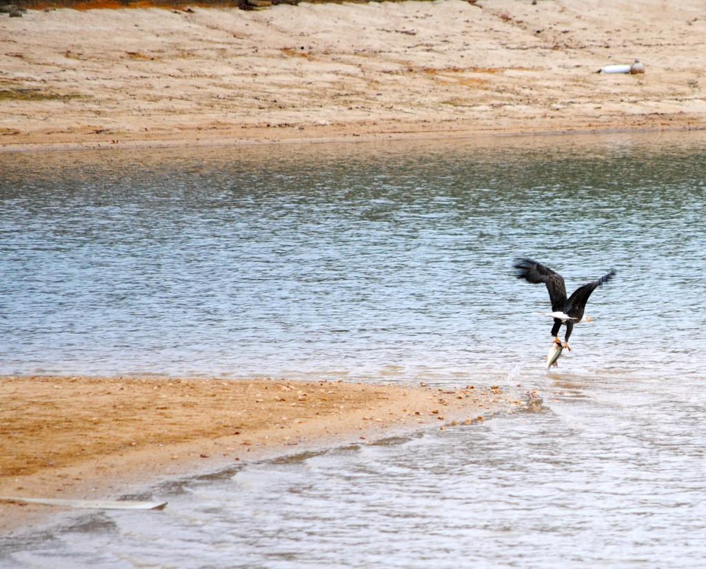 lake martin alabama bald eagle grabs fish