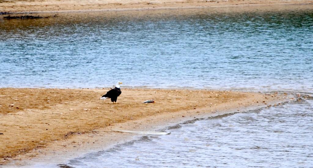 lake martin bald eagle