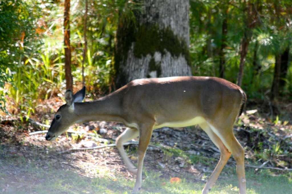 whitetail deer fawn in stillwaters lake martin
