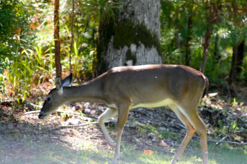 whitetail deer fawn in stillwaters lake martin