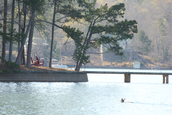 Deer in Lake Martin 1