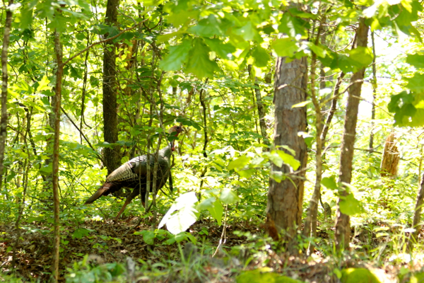 Turkey Gobbling in StillWaters