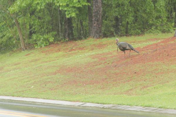 Turkeys in StillWaters April 2013 - 14